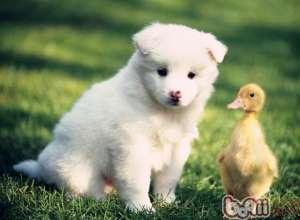 如何教会狗狗游泳-狗狗行为训练